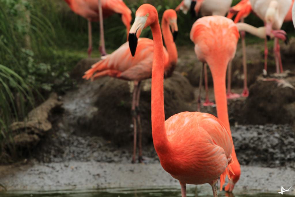 Flamingos no Safari West